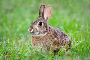 Bunny Rabbit in field